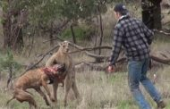 Guy Punches Kangaroo To Save Dog